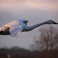 白鳥の舞い