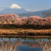 寒緋桜と富士