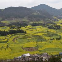 中国雲南省羅平の菜の花畑