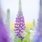 ルピナスと菜の花畑