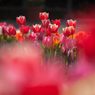 早咲きチューリップ