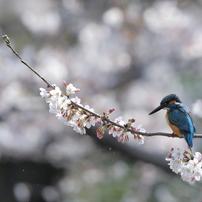 2016 桜カワセミ終焉