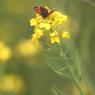 蝶と菜の花①