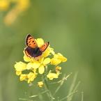 蝶と菜の花②