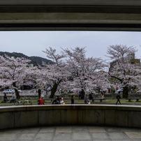 桜 in 岡崎
