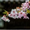 「春雨 」 小江戸川越散歩103