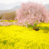 桜Anthology