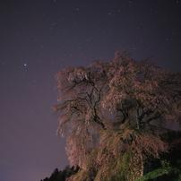 一瞬のライトに照らされた又兵衛桜