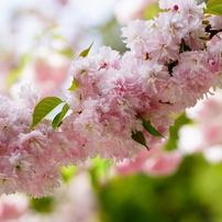 四季の花 桜