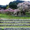 奈良の桜2010