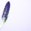 Lavender...?