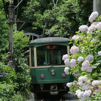 古都鎌倉に咲くアジサイ