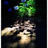 「紫陽花の色」 小江戸川越散歩116