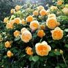 Rose -  与野公園