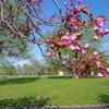 蕾・八重桜