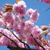 八重桜と空