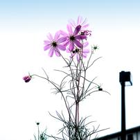 IMG_1286秋桜の初撮り