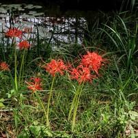 蓮池を背景にした彼岸花