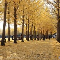 公園のイチョウ並木