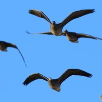 雁という名の鳥たち