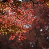 十二月紅葉