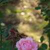 薔薇に降る光