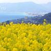 丘の上の菜の花畑~吾妻山公園