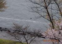 DSC_0280 びわ湖を帯になって流れ下る花筏