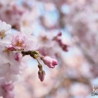 桜色に染まる時