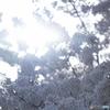 『最期の桜』