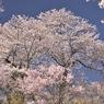花見山009