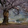 老師のような桜を撮る-①