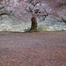 老師のような桜を撮る-③