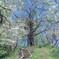 シオヤシロ満開の檜洞丸