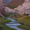 観音寺川の桜並木1