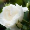 Rose Gartenより 愛を込めて・・・41