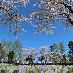 桜に囲まれて永久の眠りに