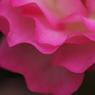 薔薇 01