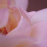 薔薇 05