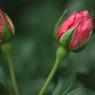 薔薇 06