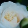 Rose Gartenより 愛を込めて・・・72