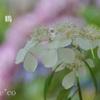 山紫陽花(やまあじさい)たち。。