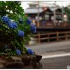 「夕暮れの紫陽花」 小江戸川越散歩134