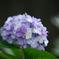 清澄庭園の紫陽花②