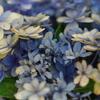 6月29日紫陽花4