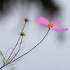 秋桜-8277
