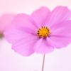 秋桜-1426_edited-1
