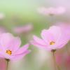 秋桜-1380