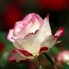 秋に咲く薔薇