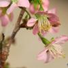・・寒桜・・